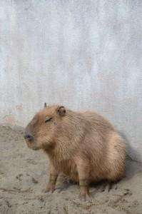 kapipara