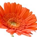 ガーベラ以外にもある風水で恋愛に効果がある花の種類