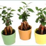 強い観葉植物ガジュマルを風水的に良い場所に置くなら