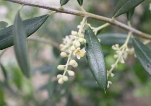 olive_hana
