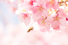 stock-photo-70464915-sakura-and-japan-bees